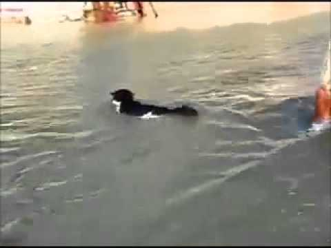 Zwemmende kat