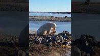 ijsbeer-hond