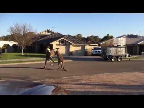 gevecht-kangaroes